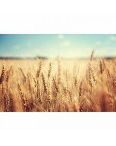 DD115142 XXL Wallpaper 5 Fototapete, WheatField