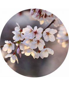 DD119202 Designwalls 2.0  Fototapete, Cherry Blossoms